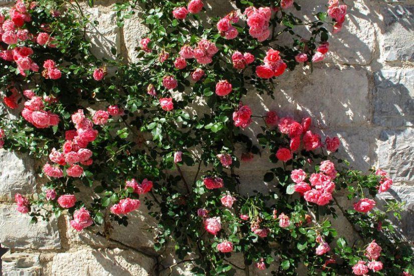 Jak uprawiać sadzonki róż by wyrosły z nich piękne krzewy?